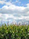 Tiges et glands de maïs vert, ciel bleu et nuages blancs Photographie stock