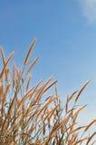 Tiges fleurissantes Photo libre de droits