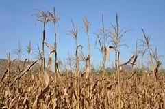 Tiges sèches de maïs Photo stock