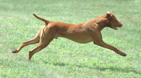 Tigger. Male Vizsla running royalty free stock image