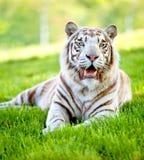 Tigger bonito Fotografia de Stock