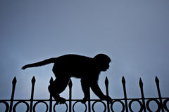 Tighrope monkey Stock Photos