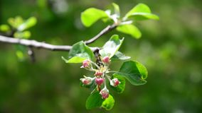 Tight buds on apple tree in spring. Tight buds on apple tree in a spring stock video