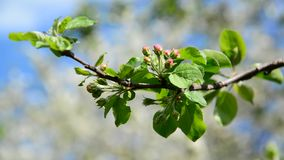 Tight buds on apple tree in spring. Tight buds on apple tree in a spring stock video footage