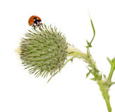 Tight buds Thistle with ladybird isolated on white. Stock Photo