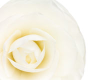 Tight camellia bud Royalty Free Stock Images