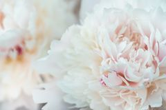 A tight crop of Peony flowers up close royalty free stock photography