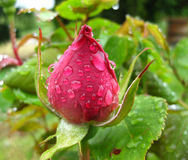 Tight red rose bud after a spring rain. A tight red rose bud dripping wet after a spring rain Stock Image