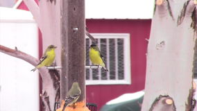 Tight shot finch at feeder with zoom out stock video footage
