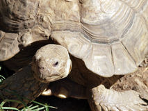 Tight shot of land tortoise head and shell Royalty Free Stock Photography