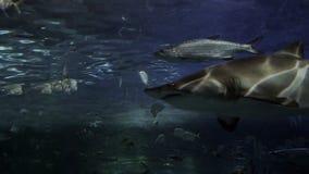 Tiger shark in 4K. Tight shot of a tiger shark. 4K footage stock video footage
