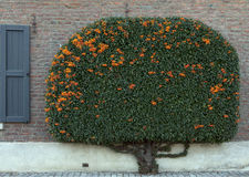 Tightly clipped Pyracantha against old wall Royalty Free Stock Image