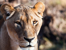 Tightly cropped Lioness portrait Stock Photography
