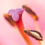 Tightrope. A close-up of the stamen of an oriental lily royalty free stock image