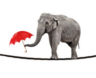 Tightrope walking elephant. A young circus elephant walking on a tightrope and carrying a red umbrella Royalty Free Stock Photography