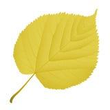 Tiglio della foglia di autunno Fotografia Stock Libera da Diritti
