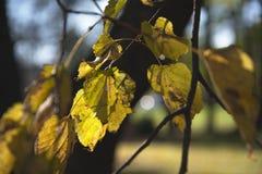 Tiglio della foglia di autunno Fotografia Stock