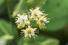 Tiglio sbocciante dell'albero dei fiori, molla Fotografia Stock