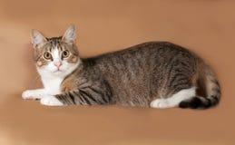 Tigré avec le chat blanc se trouvant sur le brun Photo stock
