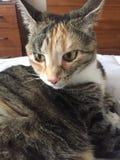 Tigré et écaille Cat Siblings Photo stock