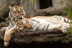 tigrar Royaltyfri Foto