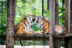 tigrar Fotografering för Bildbyråer