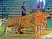 tigrar Arkivbild