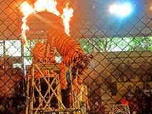 tigrar Royaltyfri Fotografi