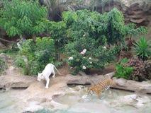 tigrar Arkivbilder