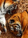 Tigrar förlorar inte sömn Fotografering för Bildbyråer