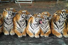 Tigrar i cirkusen royaltyfria foton