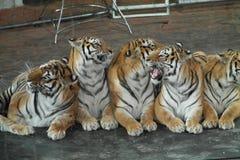 Tigrar i cirkusen arkivfoto