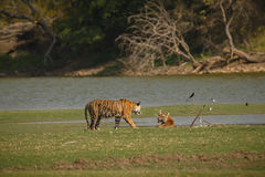 Tigrar i den indiska naturen Royaltyfri Bild