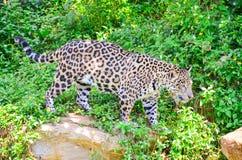 Tigrar i en zoo Royaltyfria Foton
