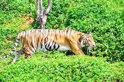 Tigrar i en zoo Arkivfoto