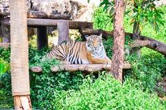 Tigrar i en zoo Arkivbild