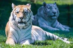 Tigrar i zoo Royaltyfria Foton