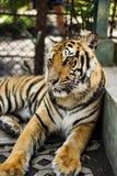 Tigrar i zoo med buren Royaltyfri Foto