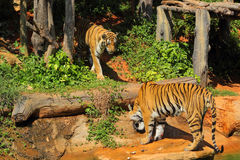 Tigrar i zoo och natur Royaltyfri Bild