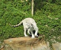 Tigrar i zoo och natur Arkivfoto