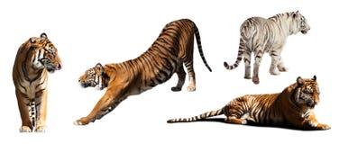 tigrar Isolerat på vit Royaltyfri Bild