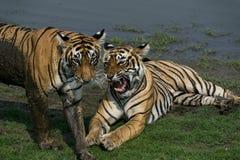 Tigrar på den Ranthambore nationalparken Royaltyfri Foto