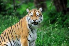 Tigrar på ett gräs Royaltyfri Foto