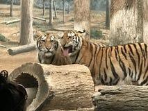 Tigrar på skärm Fotografering för Bildbyråer