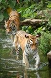 tigrar två Fotografering för Bildbyråer