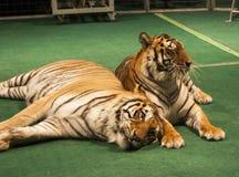 tigrar två Arkivfoto
