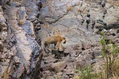 Tigre à un point d'eau Photos stock