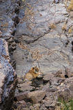 Tigre à un point d'eau Images stock