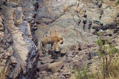 Tigre à un point d'eau Images libres de droits