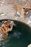 Tigre, água bebendo. Fotografia de Stock Royalty Free